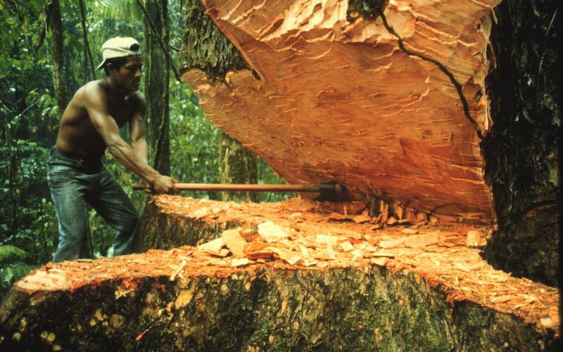Рабочие на заготовке древесины дерева абаш