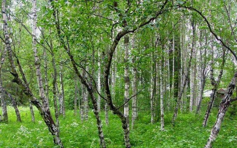 Лес состоящий из карельской березы