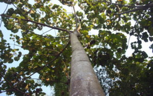 дерево Бальса