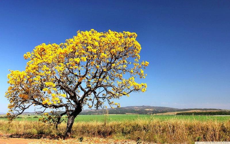 Форма дерева Ипе