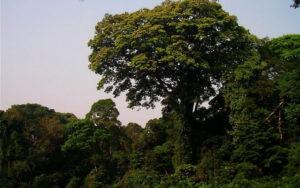 Крона дерева Зебрано